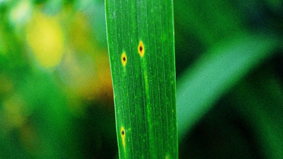 драбы или пиренофороз озимой пшеницы фото знаю, что