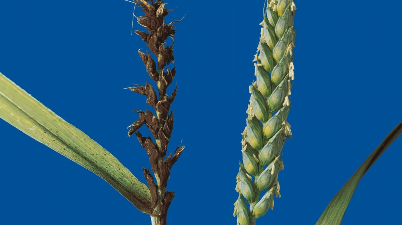 головня пшеницы фото далее